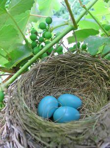 File:819126 robins eggs.jpg