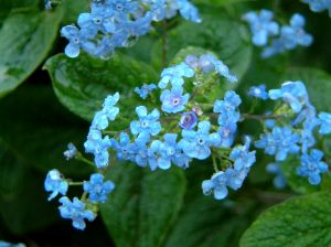 17561 forget-me-not
