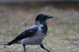 File:765431 a walking crow.jpg