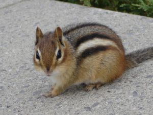 File:989137 chipmunk.jpg
