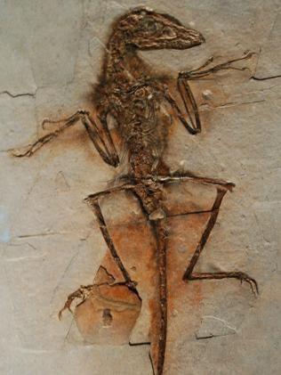 File:Sinornithosaurus-millenii-fossil-pic.jpg