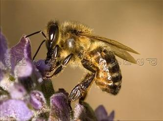 File:Honey-bee.jpg
