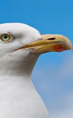 File:Seagull2501.jpg