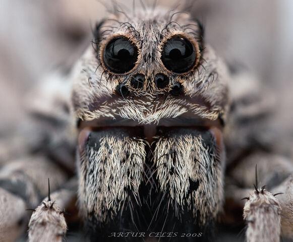 File:171 Lycosa tarantula by Bullter.jpeg