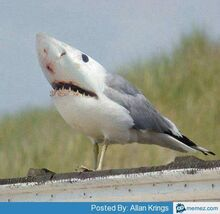 Sharkgull