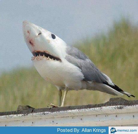 File:Sharkgull.jpg