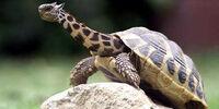 Giraffe-Turtle