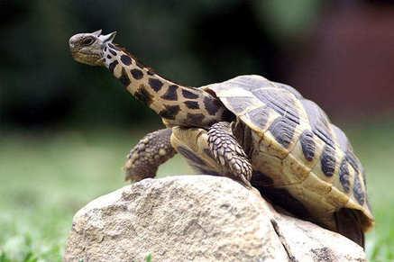 File:Giraffe-Turtle.jpg