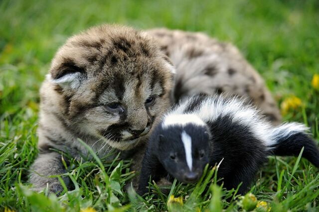 File:A lion cub has struck up an unusual friendship with a baby skunk.jpg