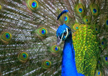 Next-gen-e-readers-improved-peacock-technology-could-lock-in-color-for-high-res-displays-orig-20130205