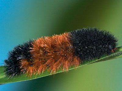 File:Wolly-bear-caterpillar-400.jpg