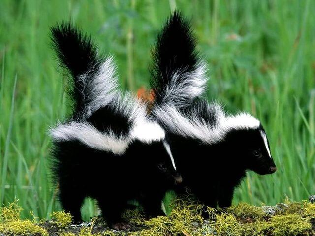File:Baby Skunk.jpg