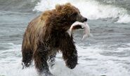 Bear fish in mouth