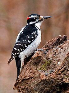 Hairy woodpecker sim 1