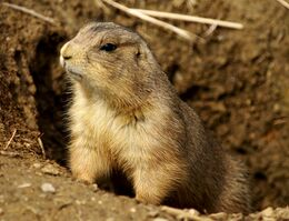 Prairie Dog Washington DC 1