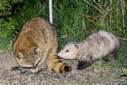 Opossum-and-raccoon-Robert-Natzke-417474-620x416