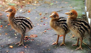 Cassowary chicks VAZoo