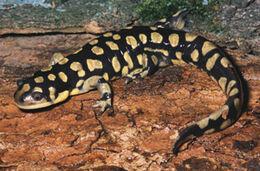 Eastern tiger salamander 102918 7