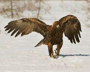 Mar2515-golden-eagle1-e1427479761198