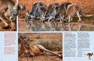 Red-Kangaroos2-RR-June-July2012-479x313