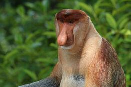 Proboscis monkey (Nasalis larvatus) male Labuk Bay 2