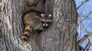 Raccoon-tree.jpg.adapt.945.1