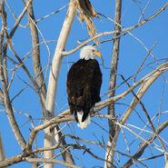 Adult-bald-eagle