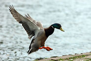Mallard-duck-touching-down-on-land