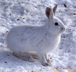 Snowshoe Hare, Shirleys Bay