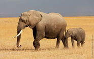 African-Elephant-With-Baby
