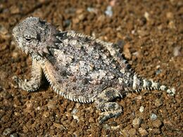 Horned lizard 032507 kdh