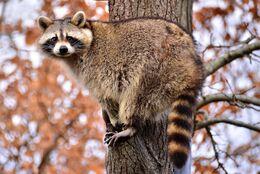 Raccoon in tree b 20130301 LRW
