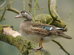 Female Wood Duck (Aix sponsa), Parc du Rouge-Cloître, Brussels