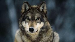 Gray-wolf-closeup