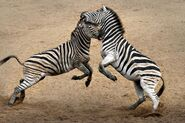 Male-zebras-traded-blows-in-a-fight-that-lasted-more-than-four-hours