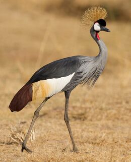 Crowned-Crane-Bird-Facts