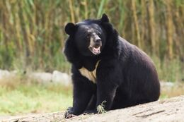 Bear asiablack roar jup