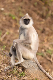 Tufted-gray-langur-126511-Edit
