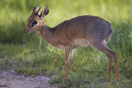 Madoqua kirkii - male (Namutoni)
