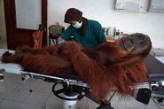 Orangutan-hospital-bed-indonesia