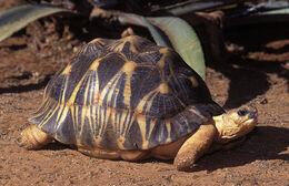 Radiated-Tortoise