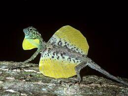 Flying-lizard-draco-gular-flap-wings-extended 24699 600x450