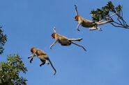 Proboscis monkey (Nasalis larvatus) composite