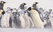 Emperor-penguins-chicks-in-blizard-820x503