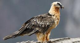 Bearded vulture teaser