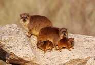 Rock Hyrax family looking forward-XL