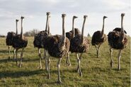 Flock of Ostriches 600
