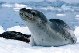 Leopard-seal-1-lg