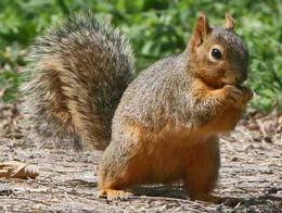 7-EasternFoxSquirrel-3.jpg.w300h226