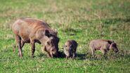Warthog-family.jpg.adapt.945.1